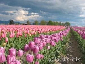 Алсмер, цветочное полед