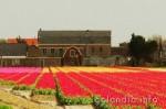 История появления тюльпанов в Голландии